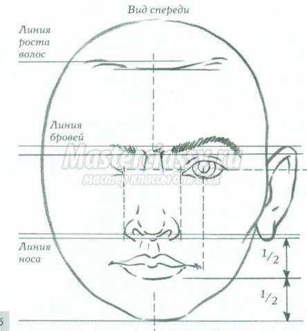 пропорции головы взрослого