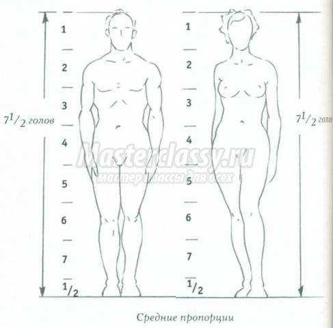 пропорции тела взрослого
